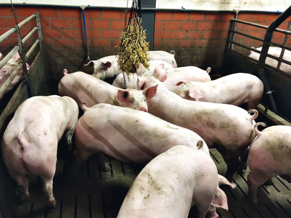 Schweine stroh