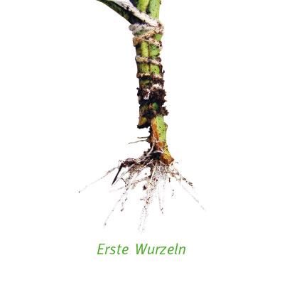 Pflanze Wurzeln